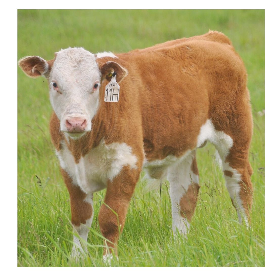 Hereford Bull Calf #hereford #herefordcalf #herefordbull