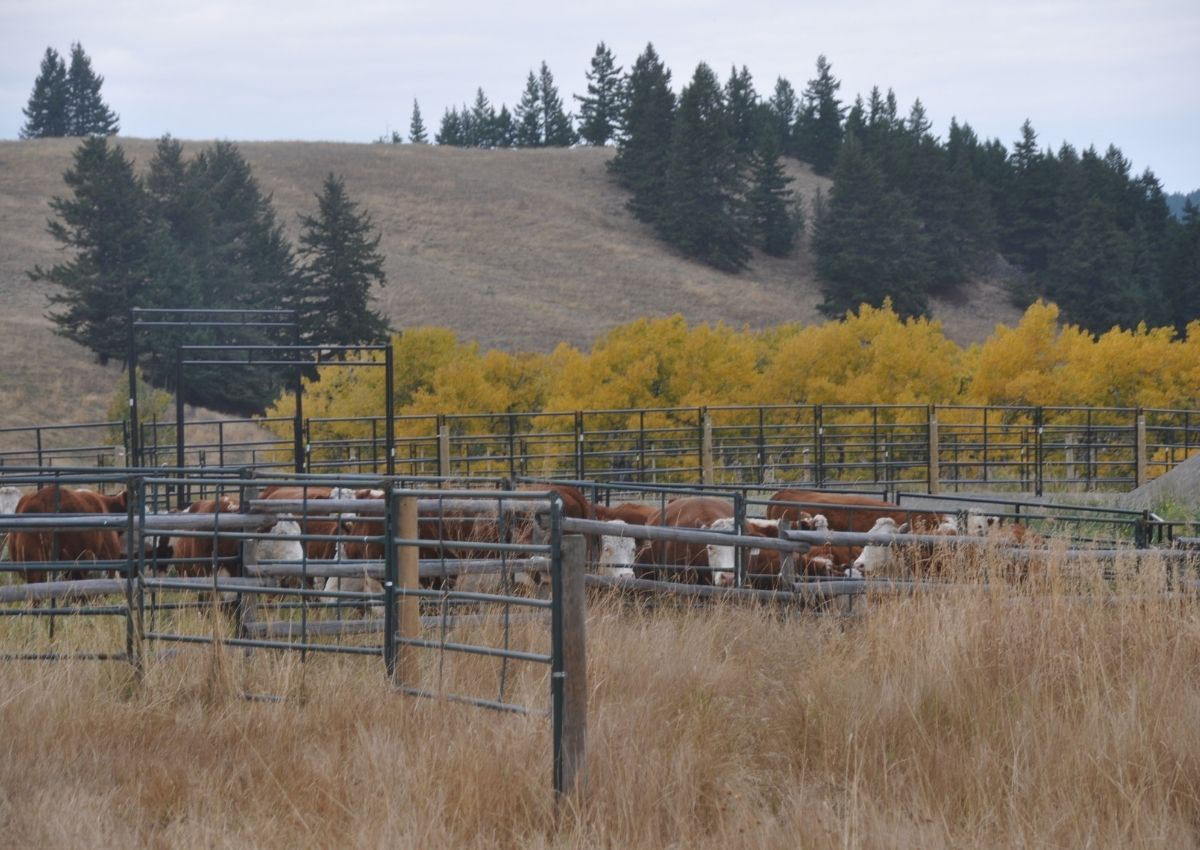Our autumn ranch chores include hauling cattle home, weighing calves, updating CattleMax, feeding the ewes, and enjoying the beautiful weather. #ranchchores #autumnranchchores #weighingcalves #cattlemax