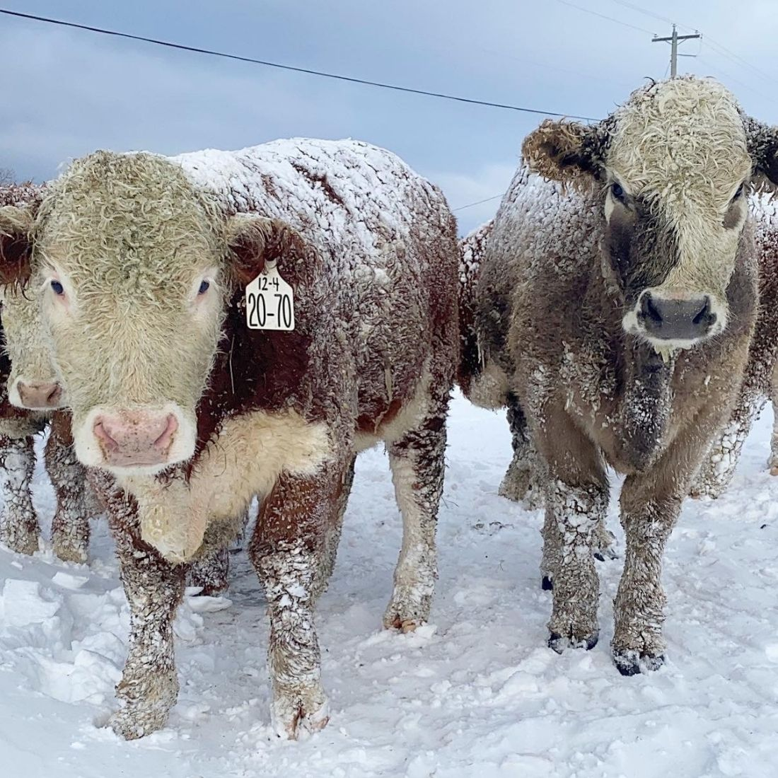 Hereford cross show steers in the winter