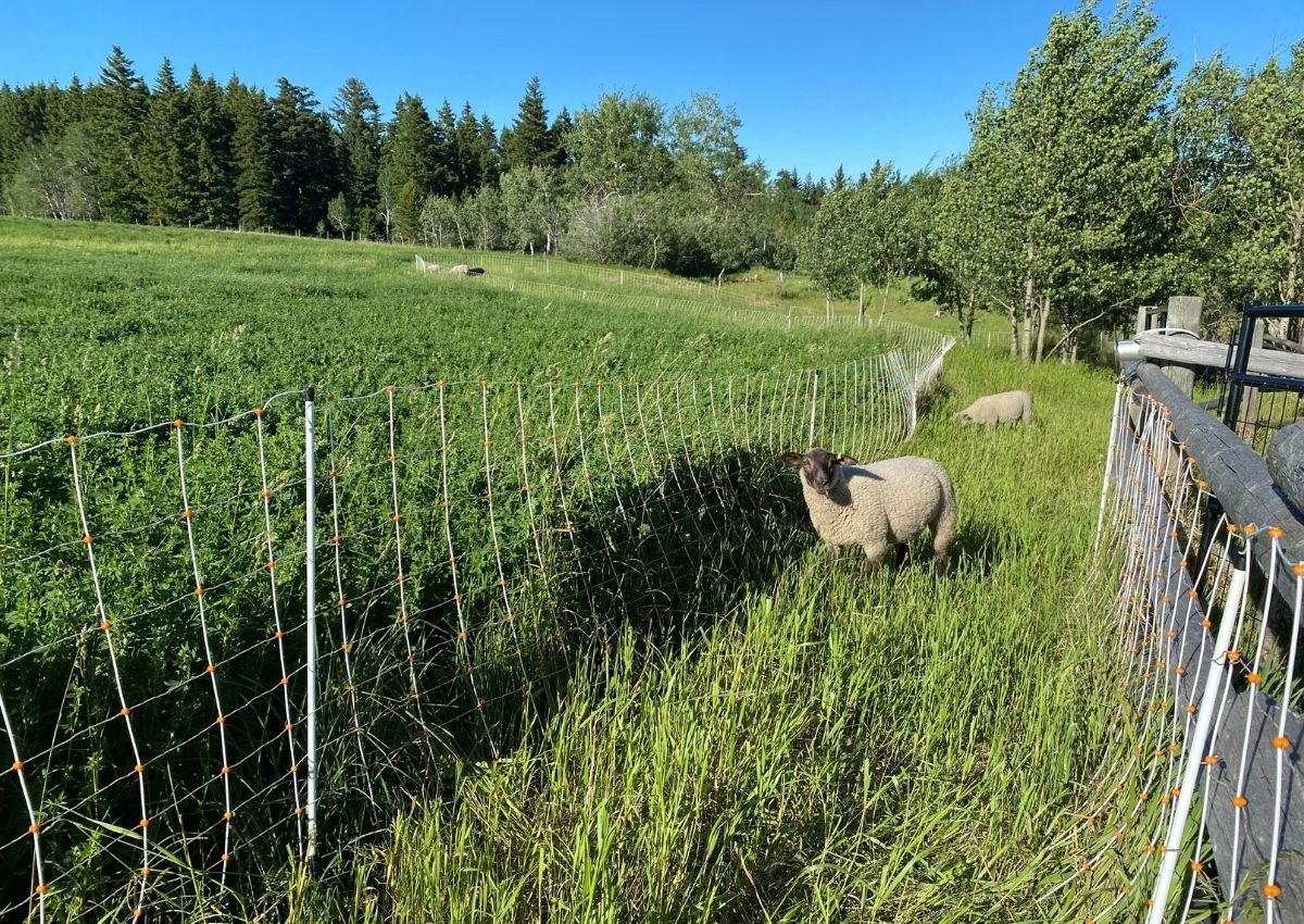 Difference between ungrazed vs grazed areas when using a temporary fence next to a hayfield