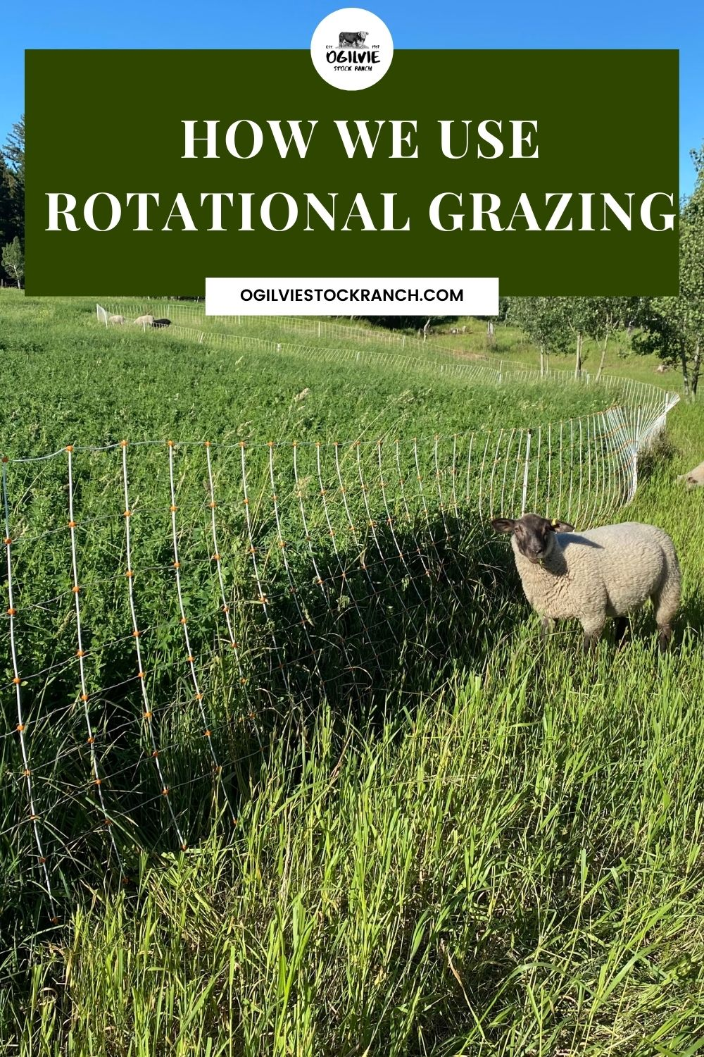 How We Use Rotational Grazing with Permanent Fence and Temporary Fence for Cattle and Sheep. #sheepfencing #rotationalgrazing #cattlefencing