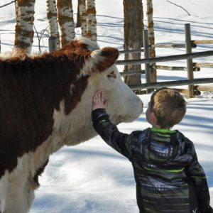 Boy Petting Hereford Cow
