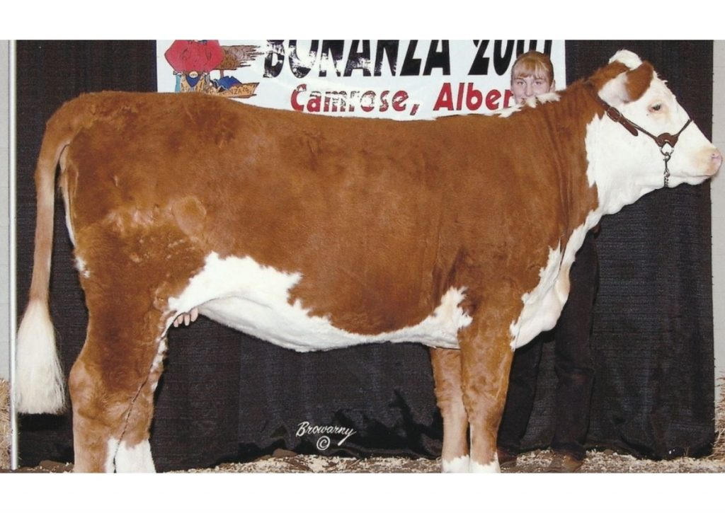 Hereford Cow at a Cattle Show