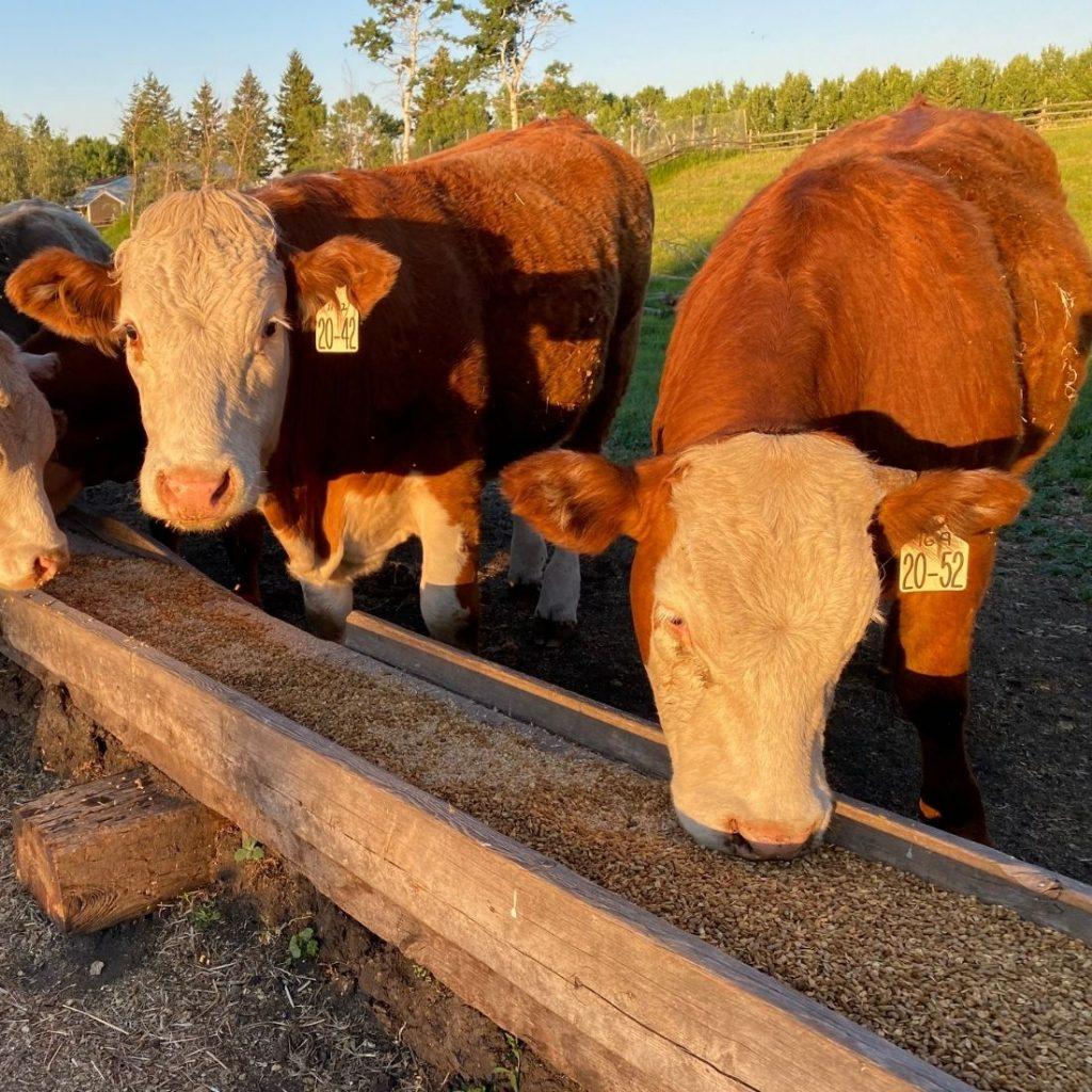 Hereford Steers Eating Grain