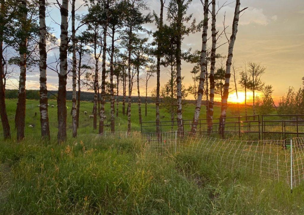 Sheep Pasture at Sunrise