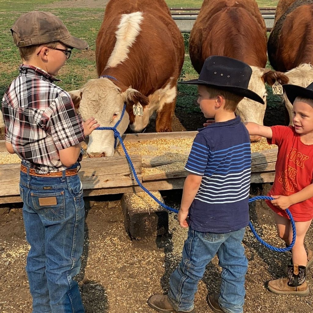Youth Feeding Grain to Show Steer