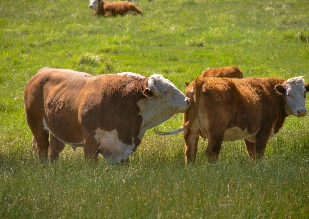 Bull Checking Hereford Cow